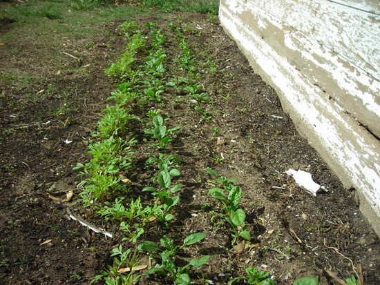 spinach bed with marigold bug repellant