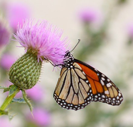 butterfly-on-thistle