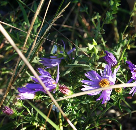 purple-wildflower-in-sun
