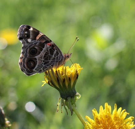 1 butterfly on dandelion